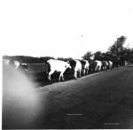 Slanger Corner cattle drive.jpg